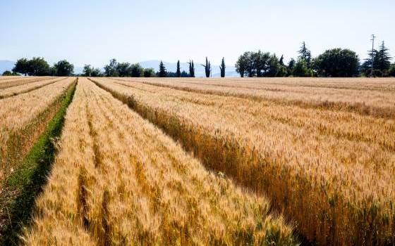La nuova frontiera dei frumenti teneri e duri al servizio della filiera Made in Italy